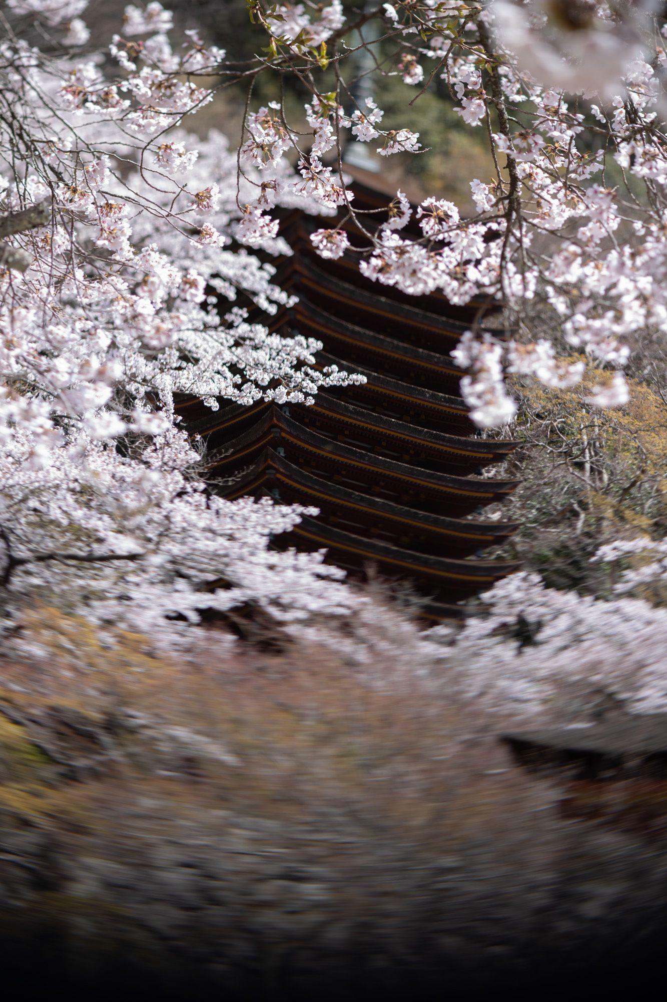 寒の戻りのために例年より遅く満開を迎えた桜の花の下で、多武峰談山能が始まる。