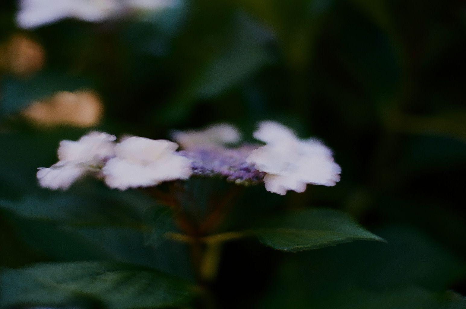 第二十六候 芒種 次候「腐草為蛍」01