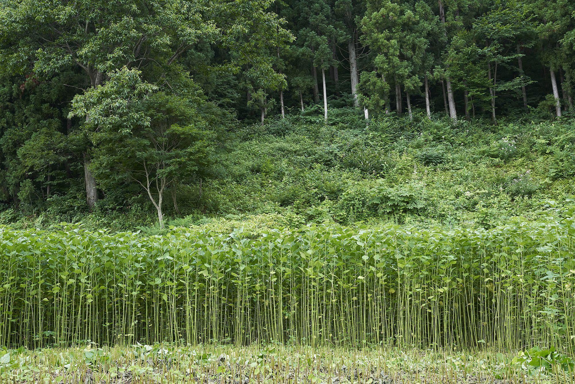 刈り取り期のからむし畑。細く美しく成長した上質の「からむし」。「からむし」の質は、糸作り、機織りなどその後の工程にも影響してくる。写真提供:昭和村