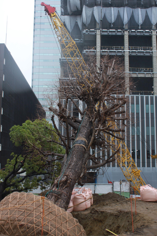 2018年に大銀杏が移植される様子。オークラに季節の移ろいを告げていた大銀杏が再び蘇る。