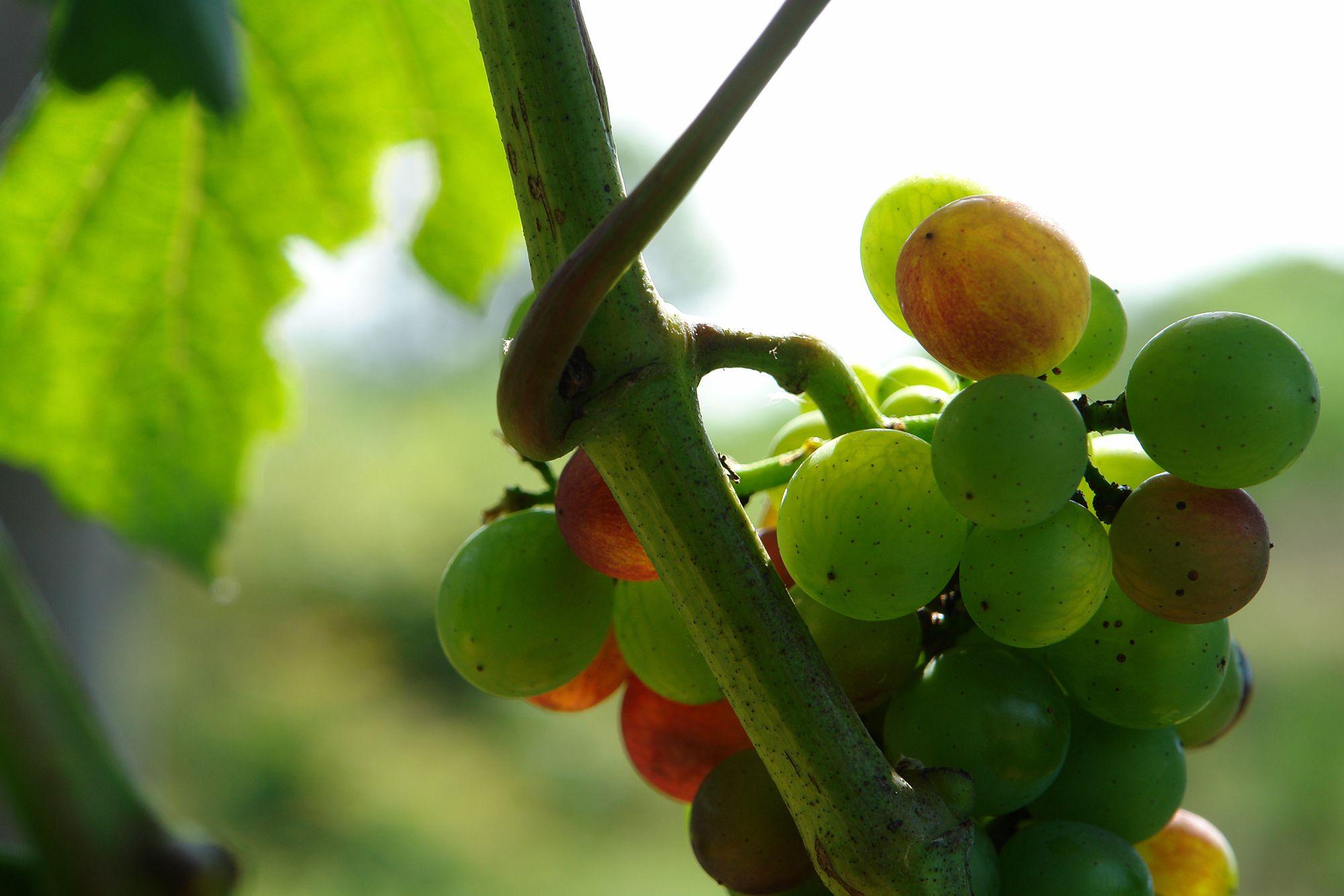 ヴェレゾン(色づき)が始まった甲州。甲州から造られるのは原則として白ワインだが、じつは果皮の色は紫色をしている。