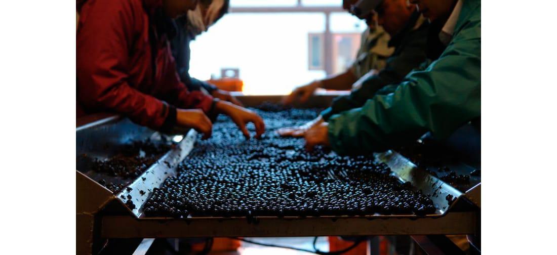 房選りが済んだら除梗のうえ、ブドウの粒を選る。黒光りしたブドウの粒はまるで「キャビア」のようだ。