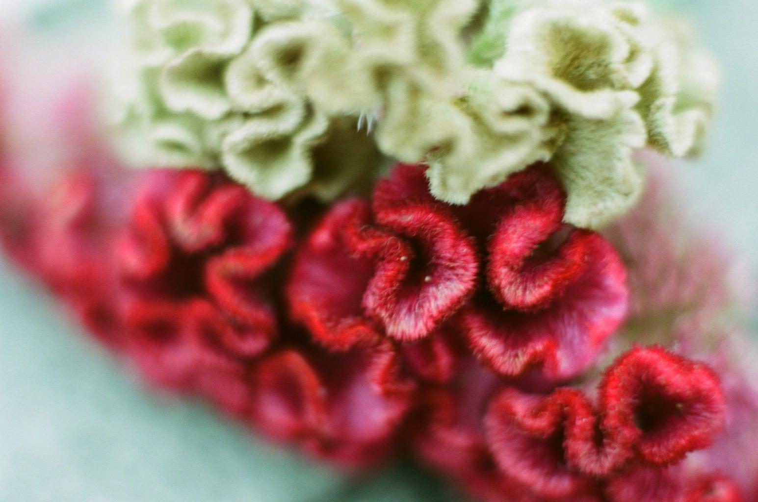 白露の季節の花、ケイトウ