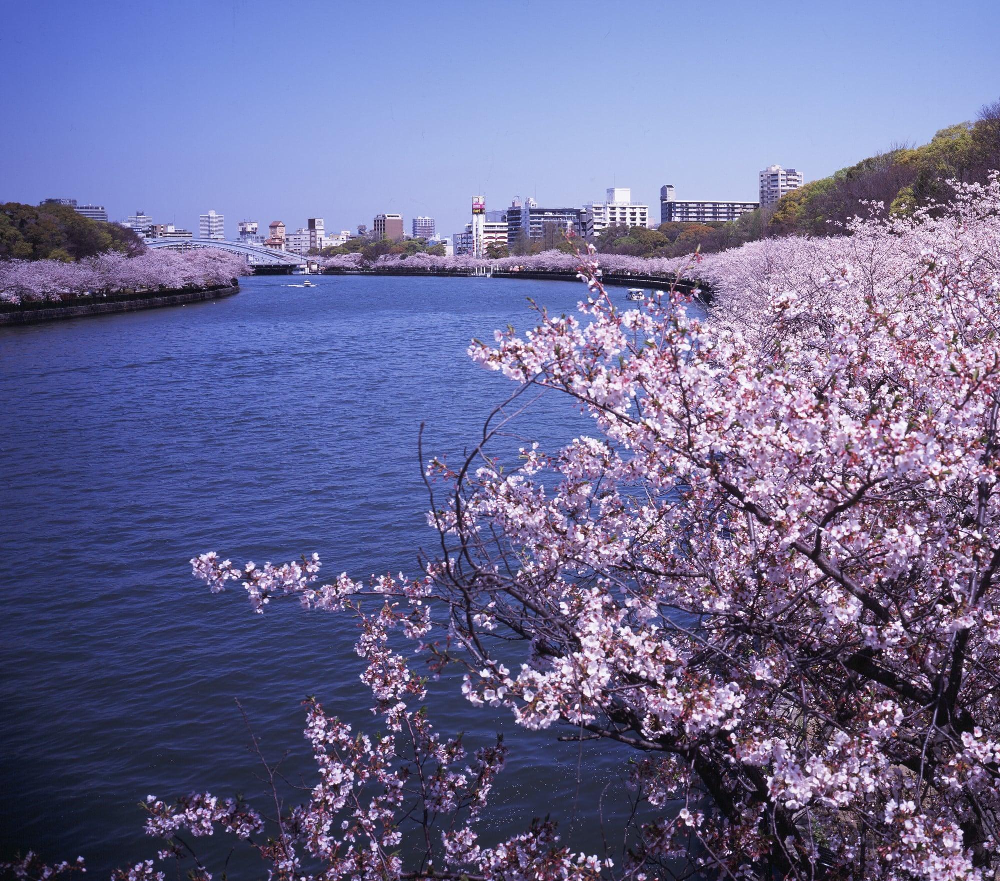 平成の通り抜けを目指し、2004年から募金活動がスタート。安藤の呼びかけに市民らから多くの募金が寄せられ、植樹された桜。Photography by © TADAO ANDO ARCHITECT & ASSOCIATES