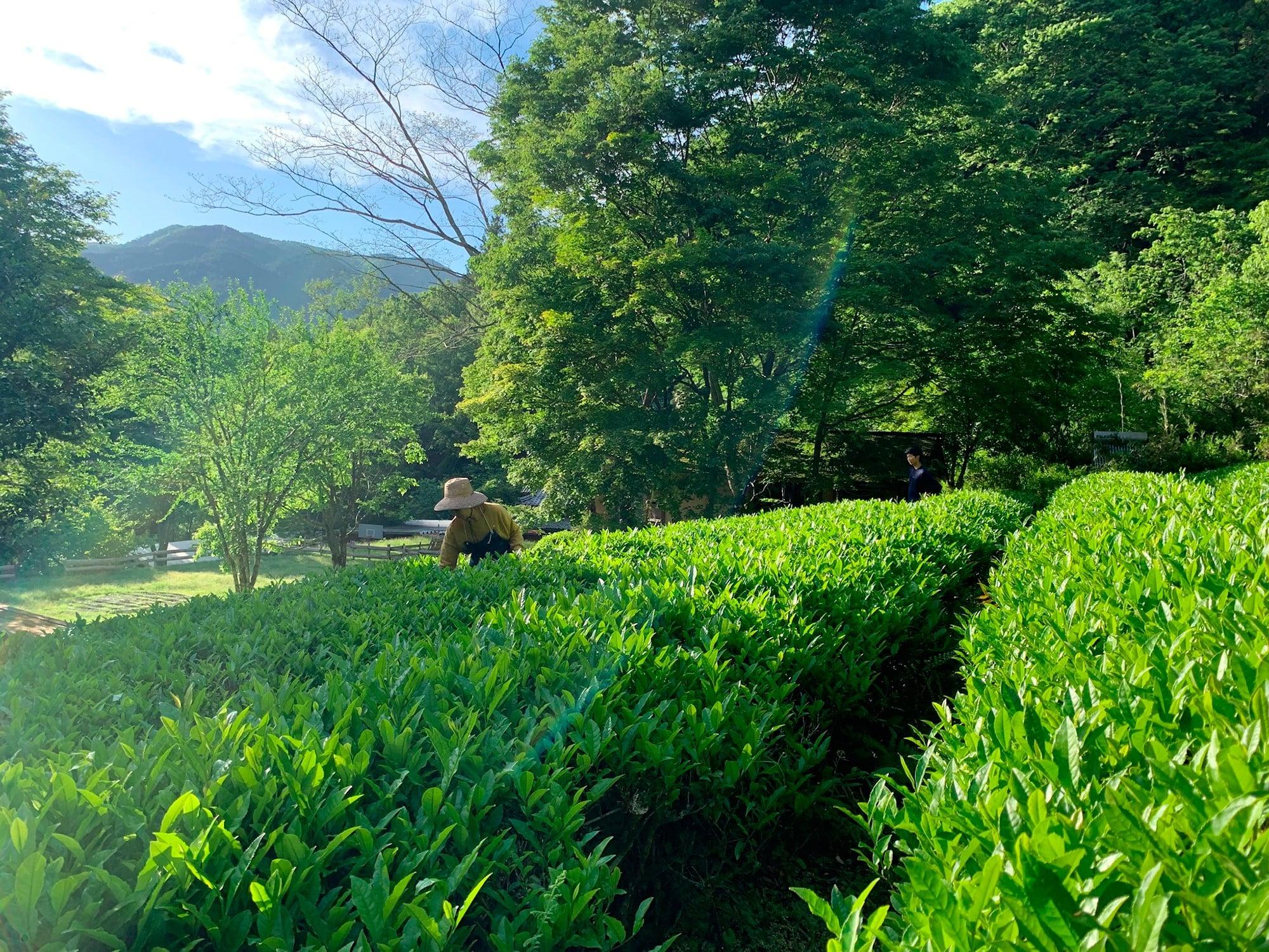 彫刻家・沓沢佐知子の住まいの敷地内にある茶畑。5月の新茶の刈り取り前の様子。