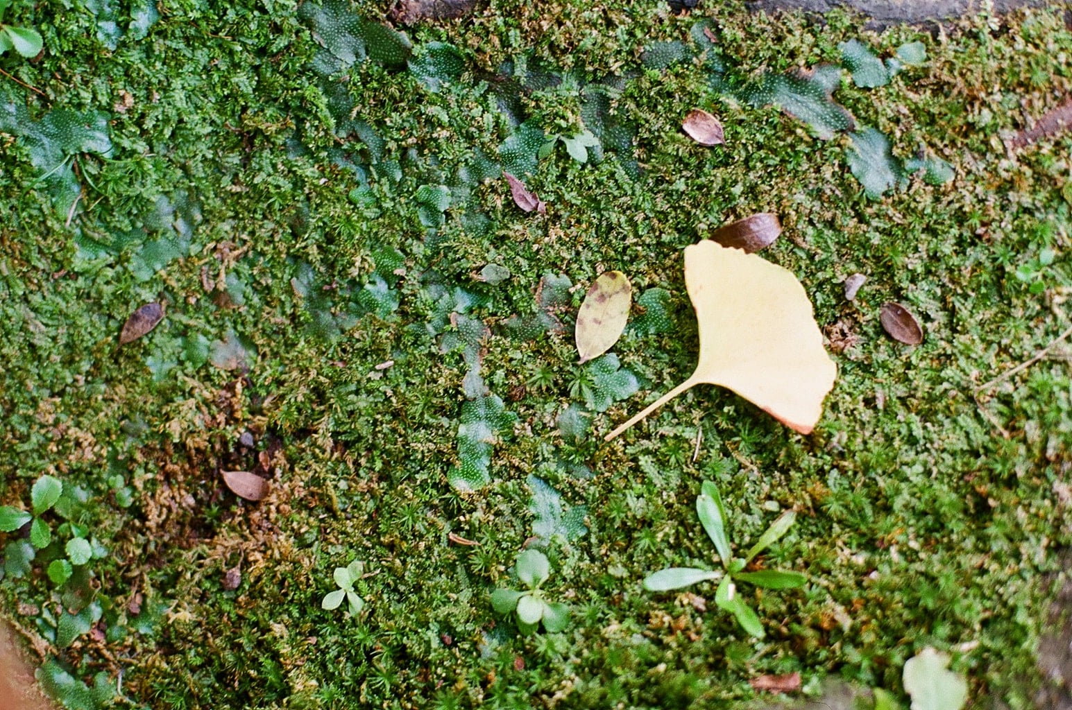 立冬イメージ 苔に銀杏の落ち葉