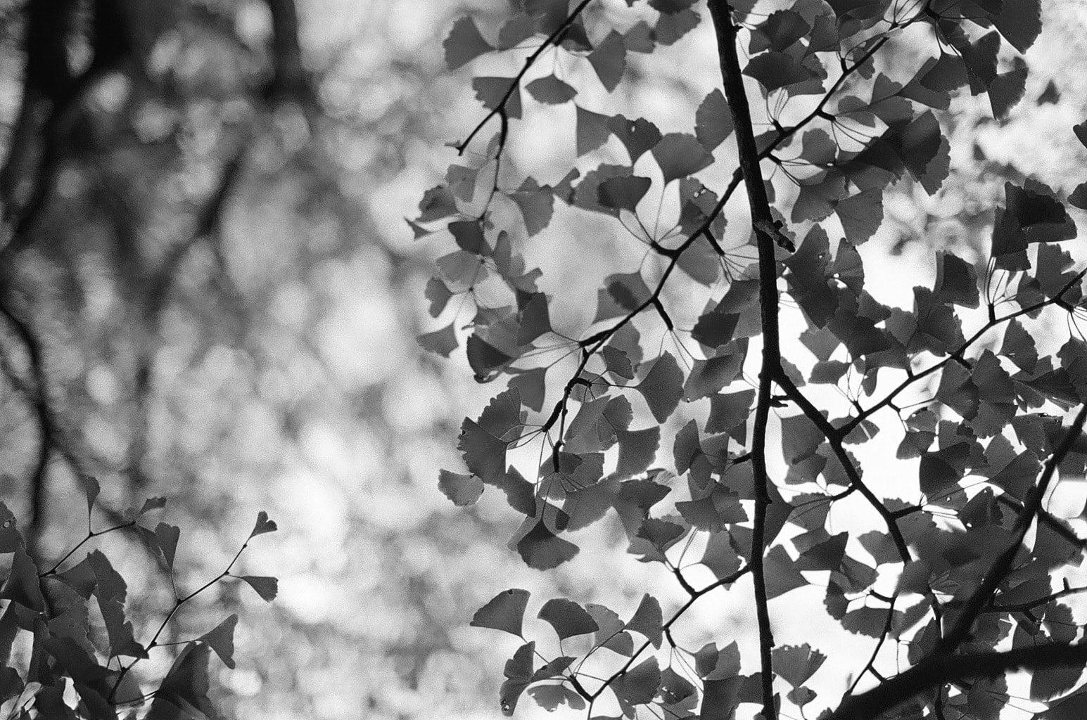 立冬イメージ モノクロームの銀杏の落葉