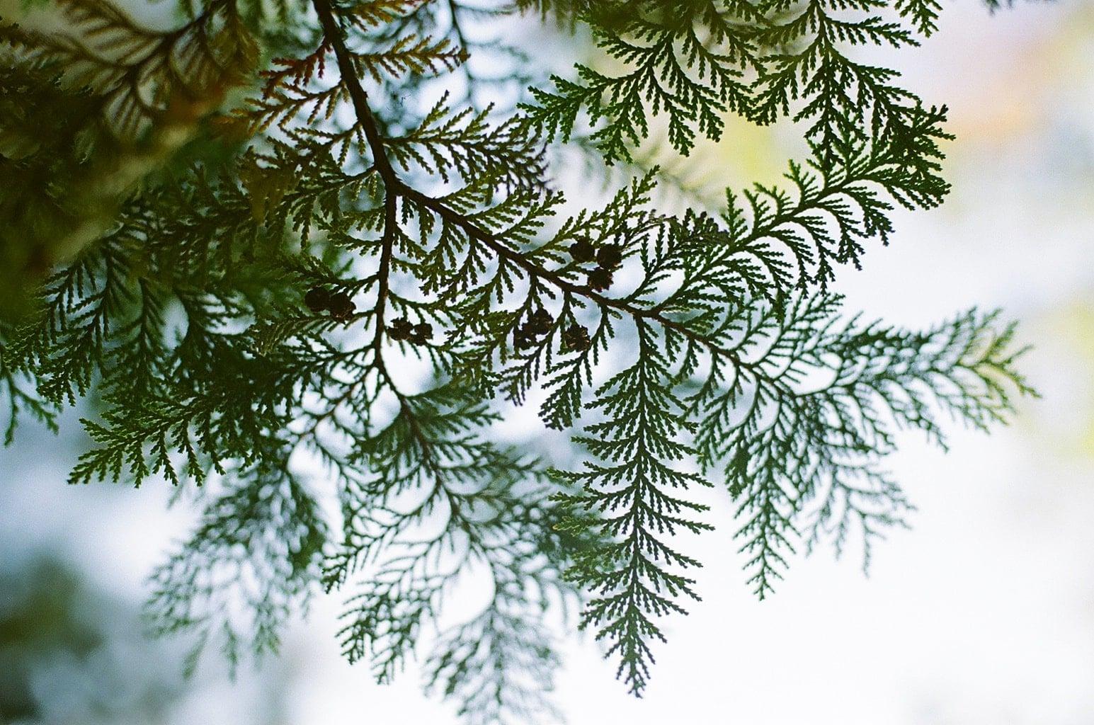 立冬イメージ 針葉樹