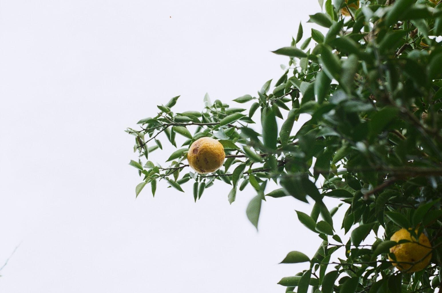 冬至イメージ。柚子の実る枝