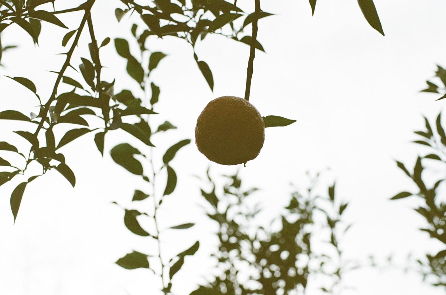 冬至イメージ。枝先に実る柚子