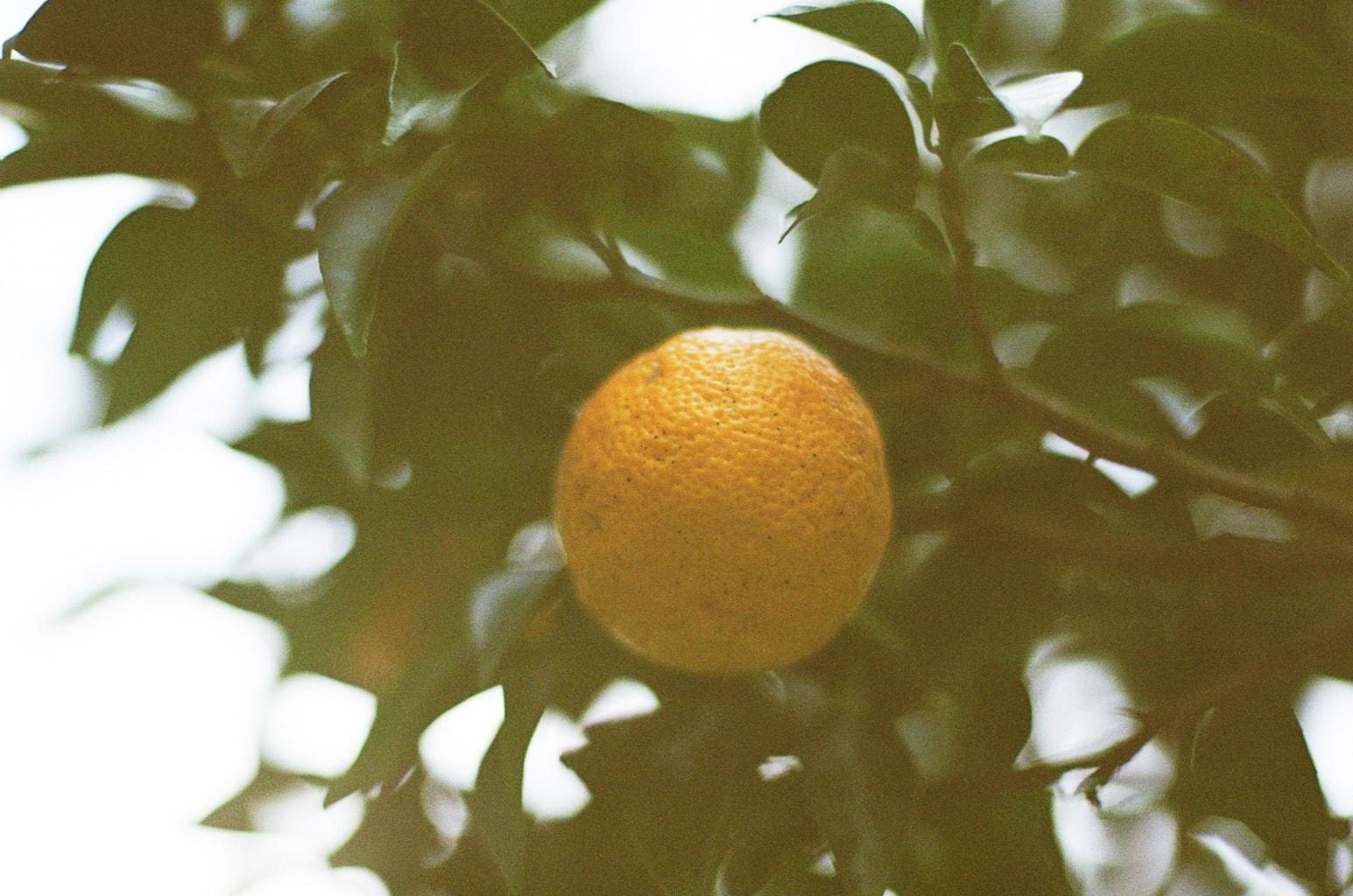 冬至イメージ。枝に実る柚子