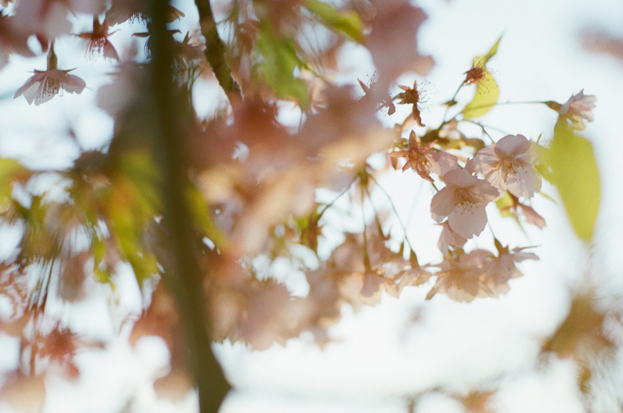 第十一候(次候) 桜始開 (さくらはじめてひらく)