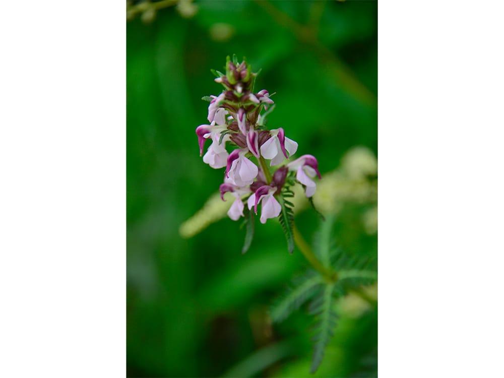 ヨツバシオガマ。北海道から本州中部地方以北の亜高山帯に分布する多年草。20~50cmほどの背丈で、紅色と薄紫色のツートンカラーの花びらがひときわ目を引く。