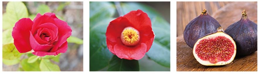 深紅のバラ「さ姫」とツバキ、イチジクの3つの赤い植物のエキスを配合し、くちびるにハリと潤いを与える。