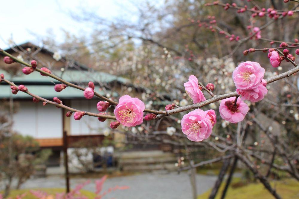 松花堂庭園で咲く梅の花