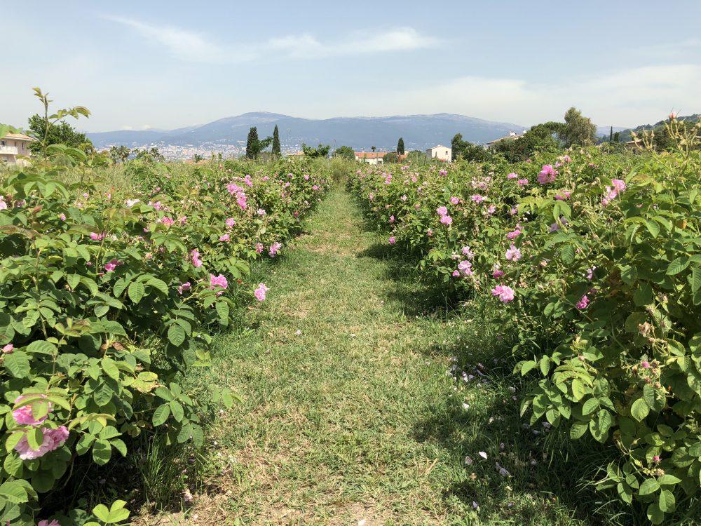 南仏・グラースのバラの畑