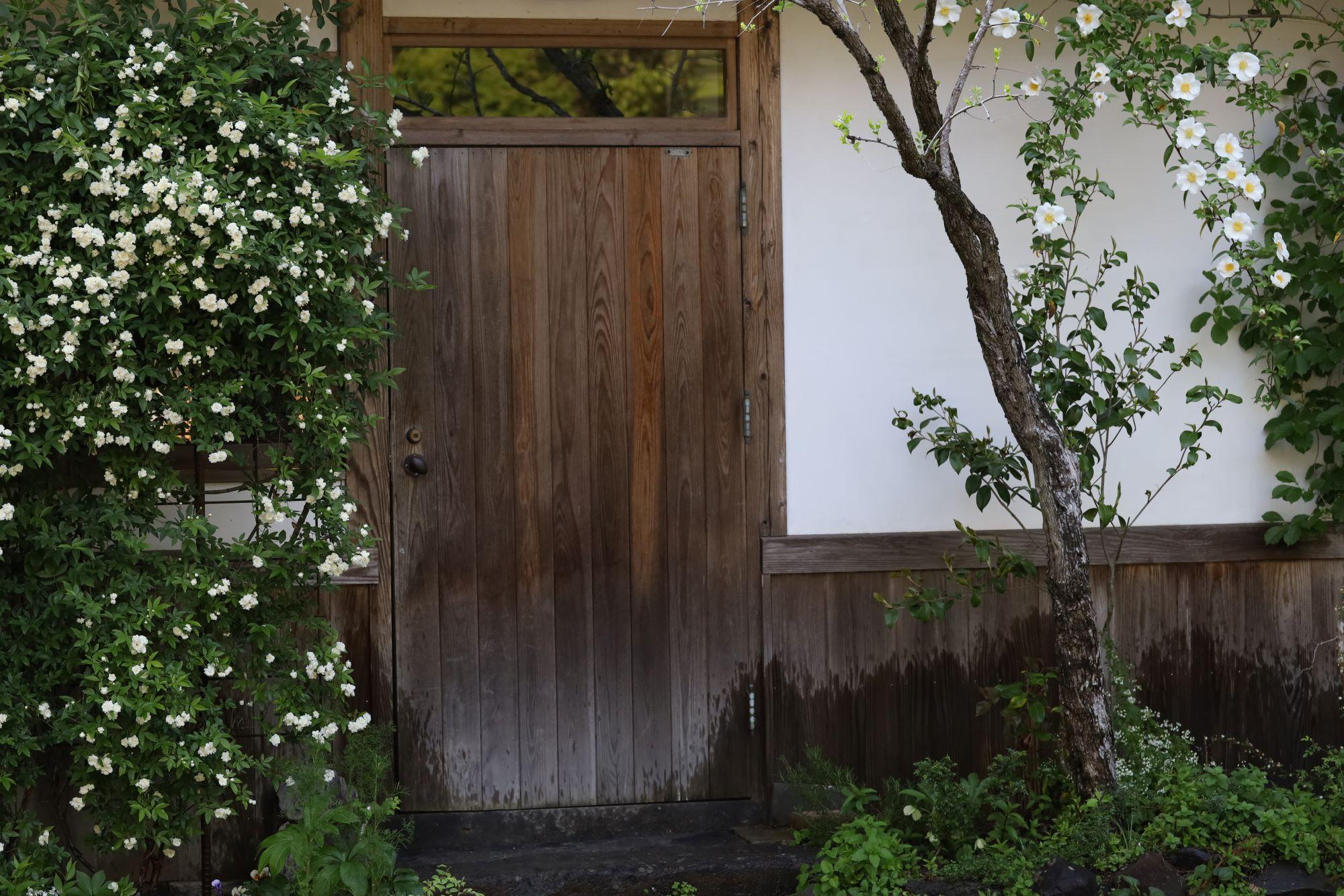 細川家の台所の扉の横にあるモッコウバラとナニワイバラは例年より早く満開になった。