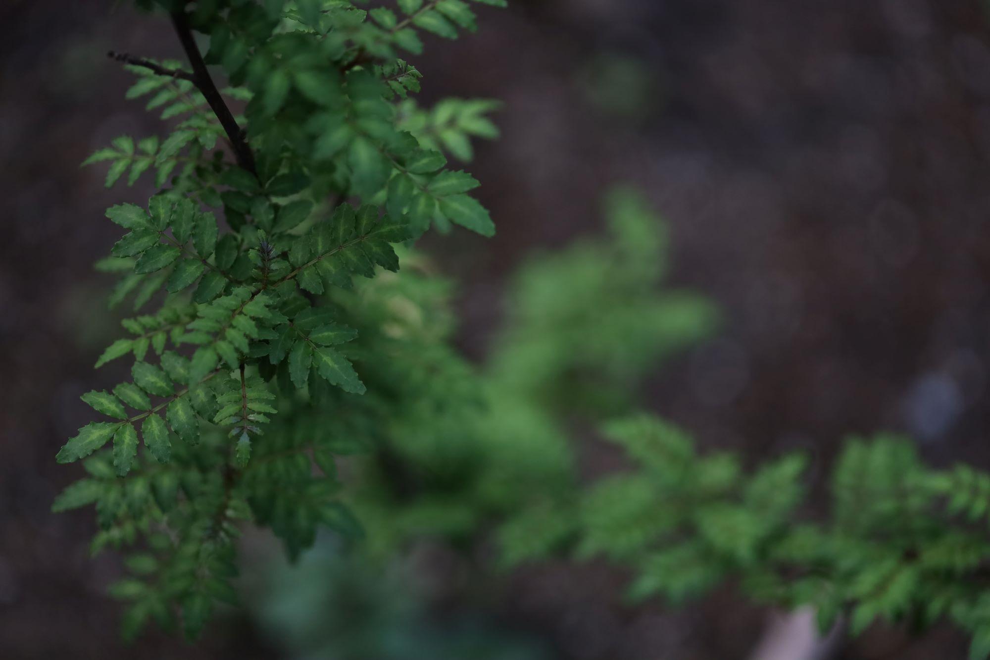 料理の最後には、昨年庭に植えた木の芽を添えて。