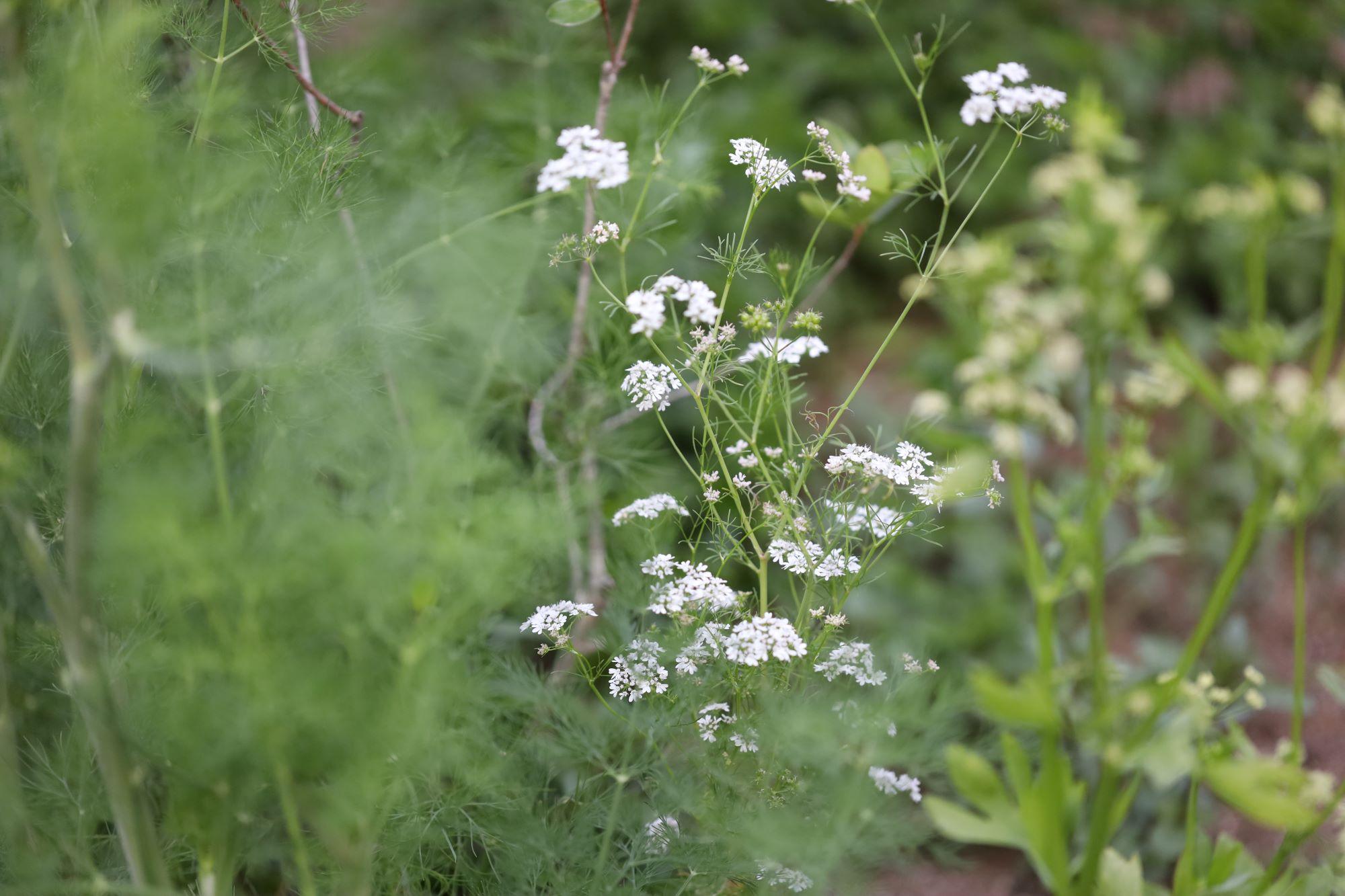 台所の窓の外に、昨年、ハーブ畑を作ったと言う。春先に植えたコリアンダーやディルに花が咲き、さまざまな種類のミントが元気に葉を茂らせている。