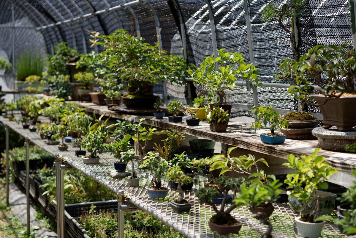 完成品の盆栽は3000円前後から数万円。ひとつひとつ手に取って選びたい。