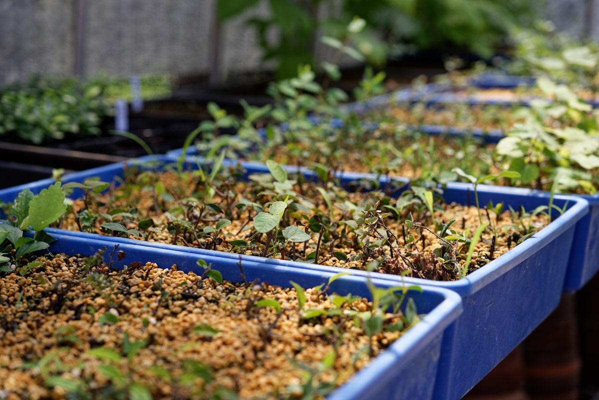 今年挿し木した様々な素材。順調に活着したら来春 鉢に上げる。盆栽となるまでには長い時間が必要だ。苗は500円~。